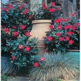 Beautiful red knockout roses blooming