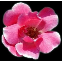 Pink knockout rose flower bloom