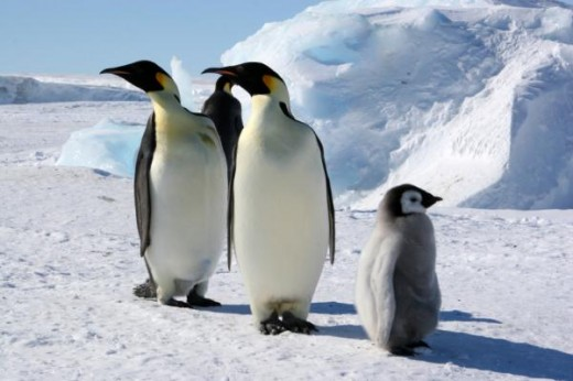 Almost everyone knows that penguins live and reproduce in one of the most inhospitable places on the planet, specifically during the long dark, extremely cold night of Antarctica.
