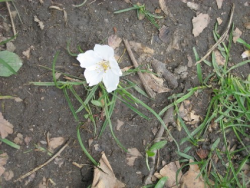 A fallen blossom in Central Park / Photo by E. A. Wright