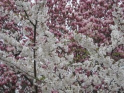 Pink and white blossoms light up the landscape of Central Park on a gray day / Photo by E. A. Wright