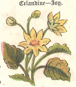 Birth Day Flower for 6th May - Celandine