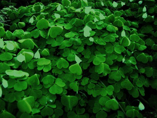 common wood sorrel. photograph by D.A.L.