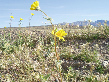 Death Valley flowers / Photo by E. A. Wright