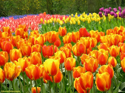 Keukenhof Garden - Tulips in bloom !