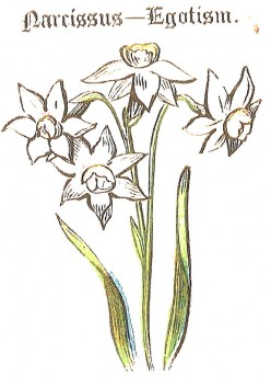 Narcissus (Daffodil, Jonquil, Paperwhites) - Yellow, White, Orange - Birth Day Flower - May 7th
