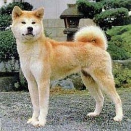 Akita dog with standing ears and a curved tail -- trademark of Japanese native dogs