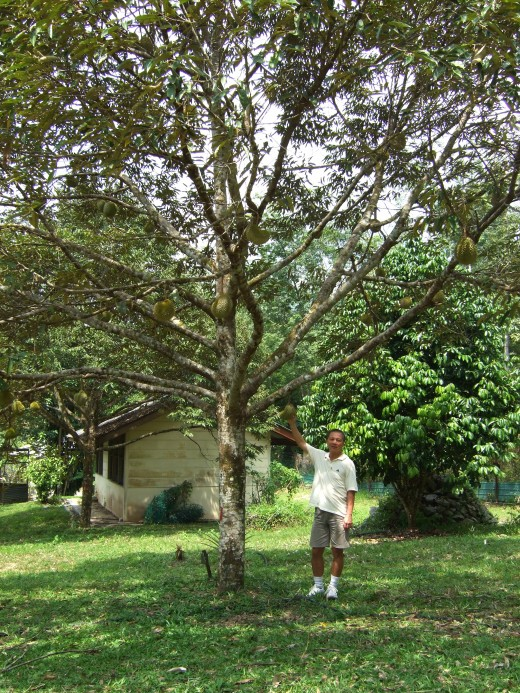 Young Durian Tree
