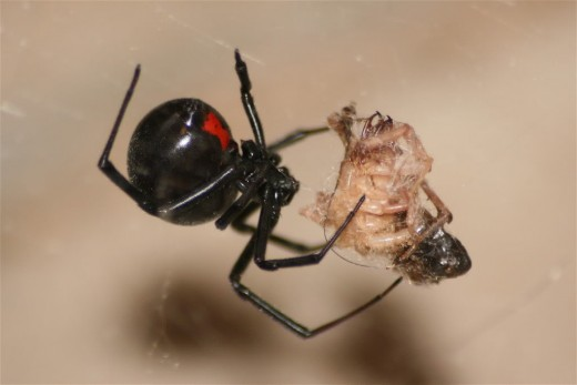 One of the world's most dreaded spider - the black widow