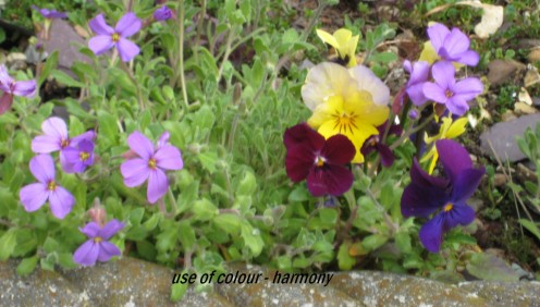 Photo: aubretia planted with pansy flowers.
