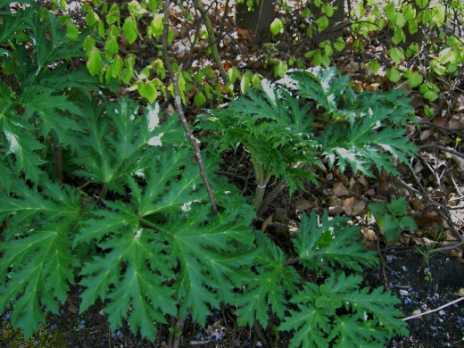 Young foliage of the giant hogweed is much more divided. photograph by D.A.L.