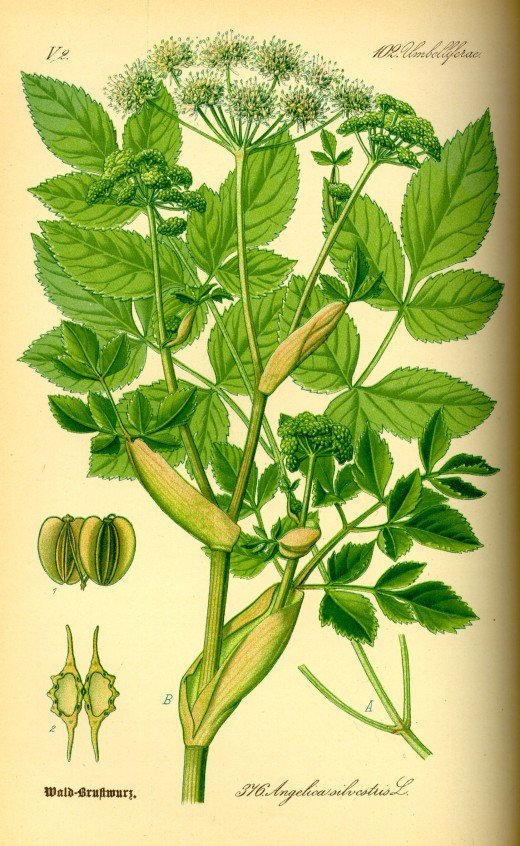 This illustration shows that the similar angelica has mush more divided floiage. Courtesy of Kurt Stueber.