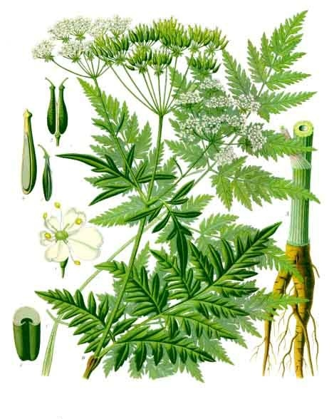 COMPONENTS OF COW PARSLEY