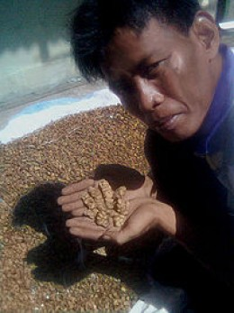 Sumatran kopi luwak prior to cleaning