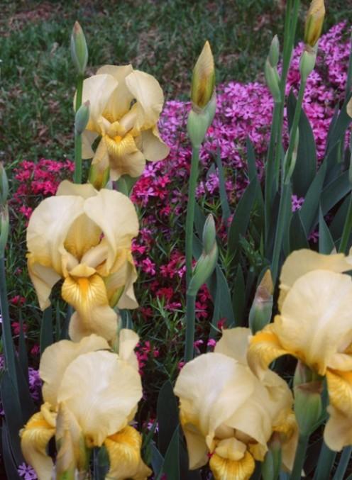 Yellow Iris In Garden