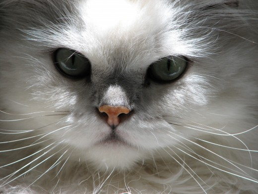 chinchilla persian cat image by LeonJane