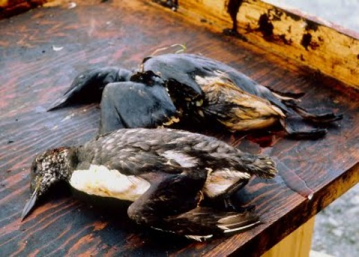 Gulf oil spill- dead birds