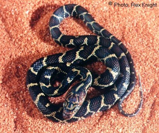 This Mexican Night Snake has very dark coloration as you can see.