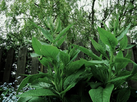 The large foliage of comfrey make this an impressive plant. Photogaraph by D.A.L.