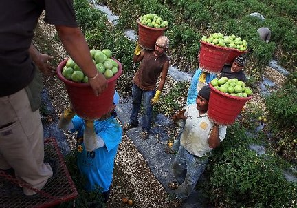 The most challenging aspect of tomato picking is getting your heavy, filled bucket to the truck and throwing it up to the dumper. If you want strong arms, this is the job for you! Each bucket weighs in at about 32 pounds.