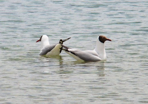 Black headed Gulls in Pangong lake