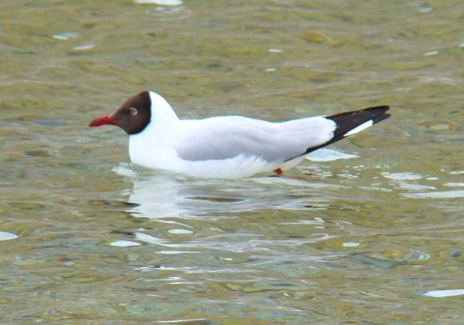 A Black-headed gull in Pangong Lake