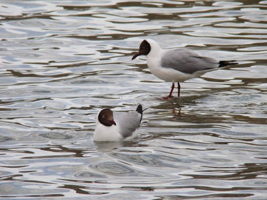 Two Black-headed gulls in Pangong Lake