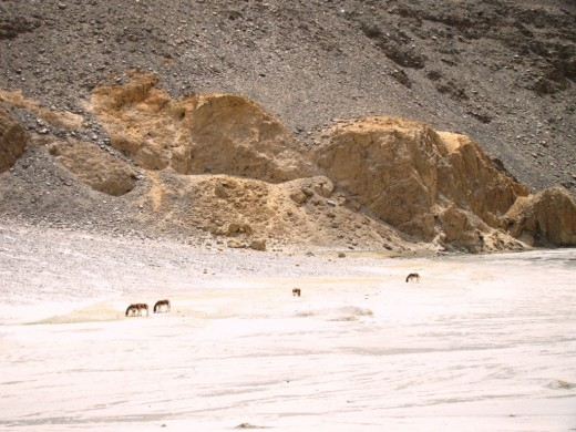 A herd of Kiangs (Tibetan wild ass) seen near the Pangong Lake