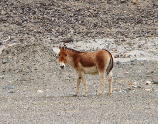A Kiang seen near the Pangong lake