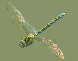 Modern dragonflies can have two or four wings. The four winged variety is more common and is virtually identical in looks to the ancient one.