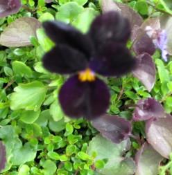 photo: viola flower.