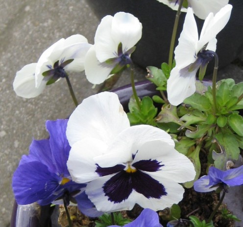 Photo: Pansies growing in a pot.
