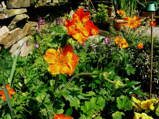 Flowers of the cultivated species of Geum enhance gardens borders. Photograph by D.A.L.