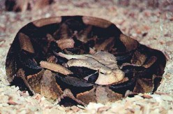 The African Gaboon Viper: Longest Fangs On The Planet