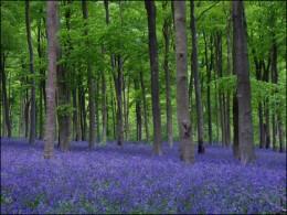 Bluebells in Lockeridge, England, near Stonehenge, on a fine Spring Day!