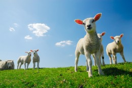 In the Spring, lambs can be seen on the ancient, rich green pasture grass in the UK.