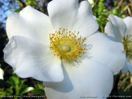 Close-up of a Cherokee Rose.