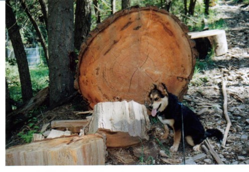 Riley at 7 months old next to a cut log in the New Mexico mountains.