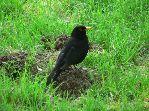 The yellow beak of the blackbird is  a prominent feature.