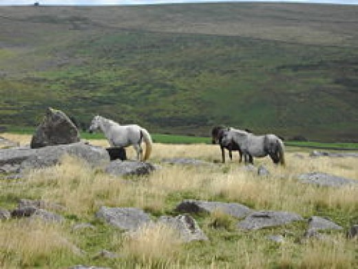 Dartmoor ponies during the spring and summer months.
