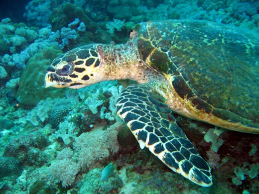 Hawksbill turtle (Carey)
