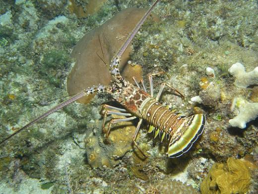 Spine lobster