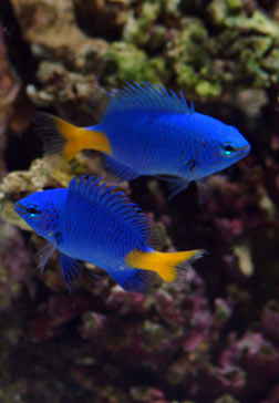 Yellow-tail dameselfish