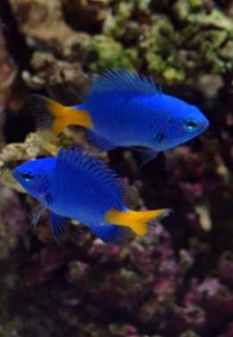 Yellow-tail dameselfish