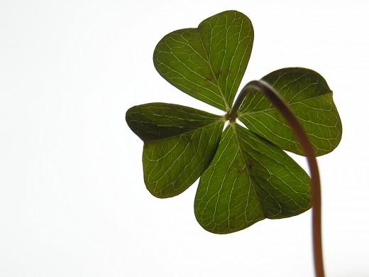four leaf clover.. not a shamrock