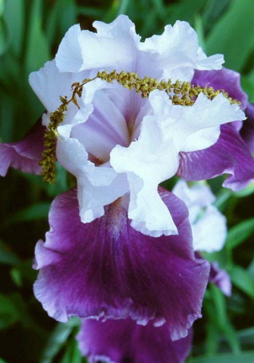 Purple/White Iris Drapped With Oak Pollen