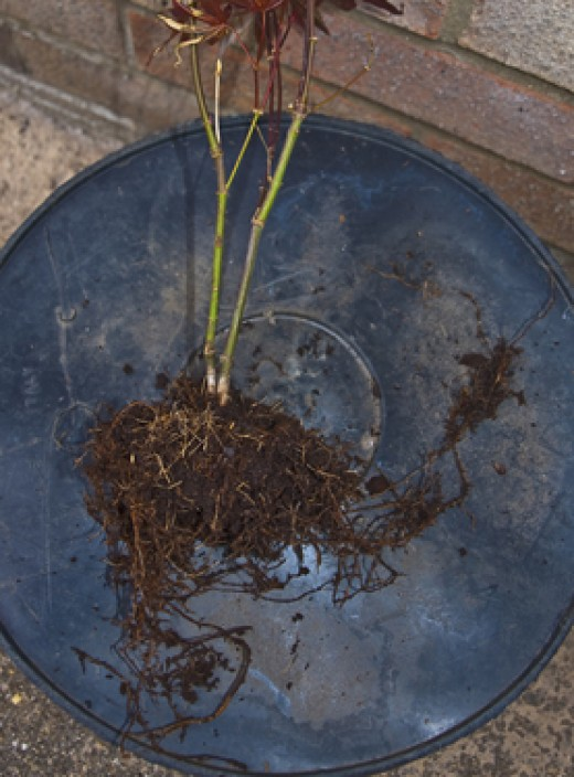 This has exceptionally free compost, the roots are quite loose from the root-ball, normally, expect a tight, root-bound condition.  It is two trees, but I've decided to keep them together to create a mother and son bonsai.
