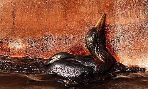 Bird oil soaked at the site of Deep Water Horizon.  Photograph: Gerald Herbert/AP
