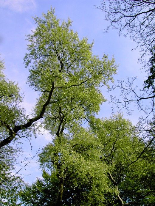 Grey poplar enjoying the sunshine. Photograph by D.A.L.