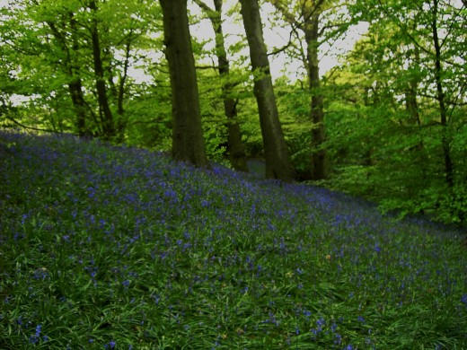 Bluebells still carpet woodland glades. Photograph by D.A.L.